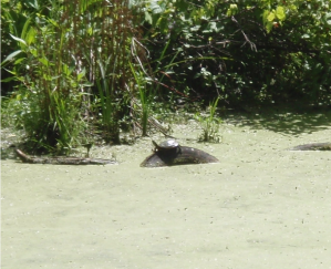 turtle along the erie canal
