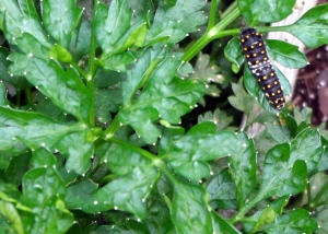 A black swallowtail larvae munches on some parsley in a garden